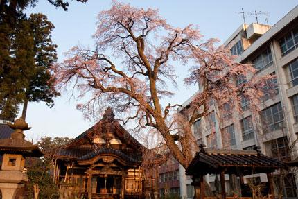 朝焼けに染まる日朝寺さんの枝垂れ桜