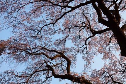 今一歩の枝垂れ桜