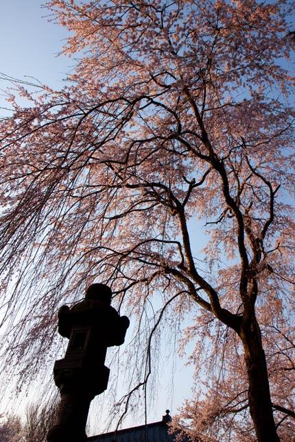 忠霊塔前の枝垂れ桜