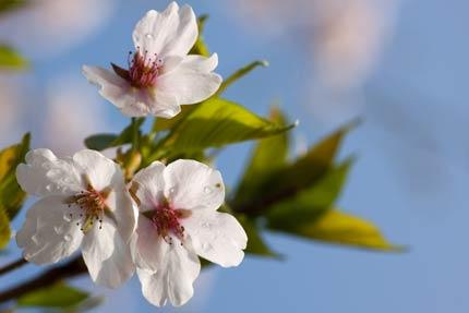風にも負けず咲いていたソメイヨシノ