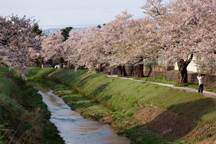 青田川沿いの染井吉野