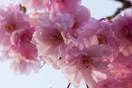 紅八重枝垂れ桜1