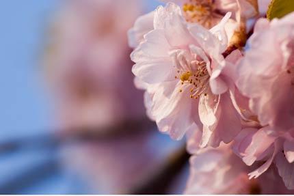 紅八重枝垂れ桜2
