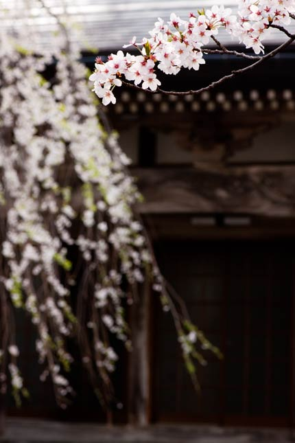 栄恩寺にある桜