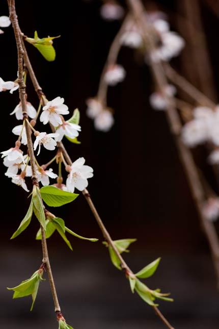 満開を過ぎた枝垂れ桜