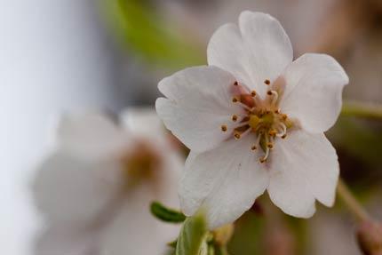 枝垂れ桜の花びら