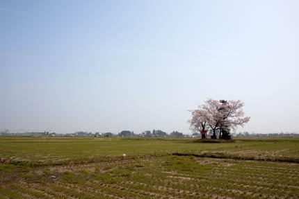 田の中の小さな神社にある染井吉野