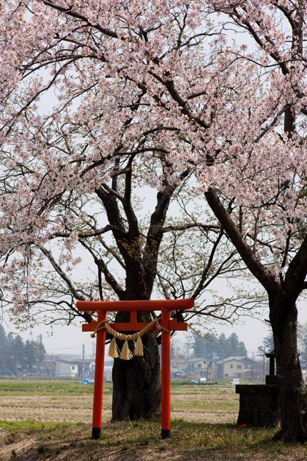 赤い鳥居も桜の中