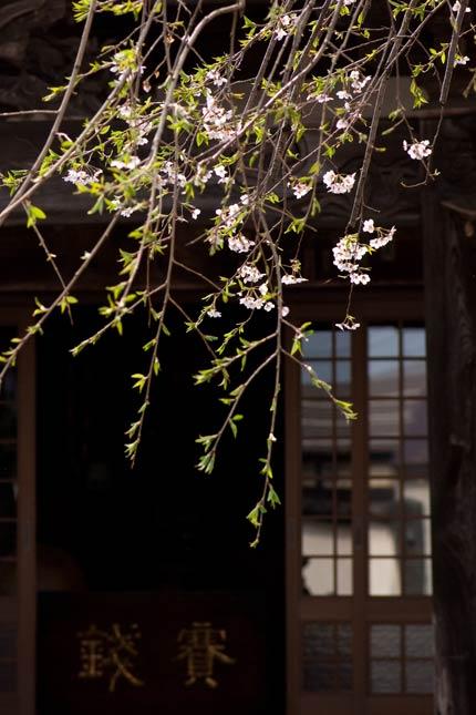 葉桜に近かった枝垂れ桜