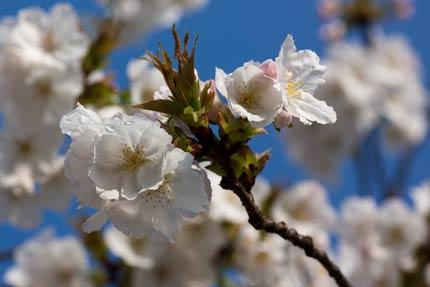 満開となった大島桜