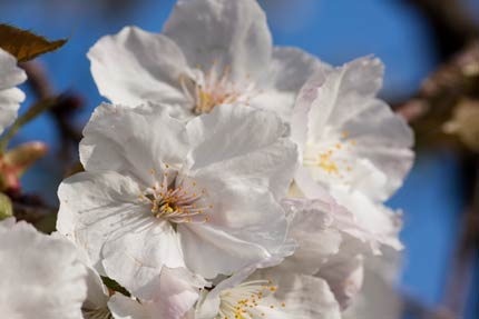 美しい大島桜