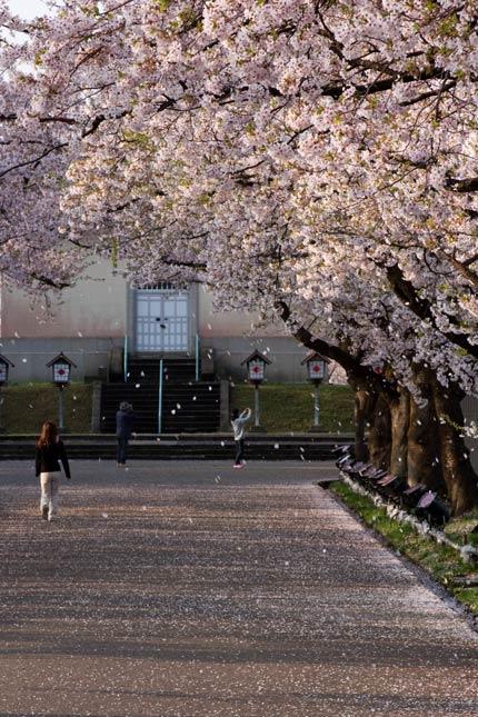 花びら舞う桜並木