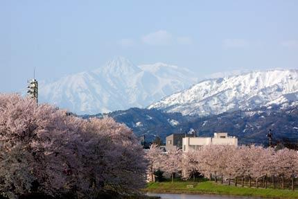 ソメイヨシノと妙高山