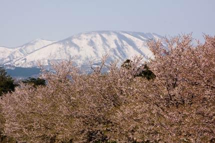 染井吉野と南葉山
