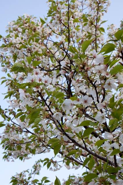 兼六園冬桜