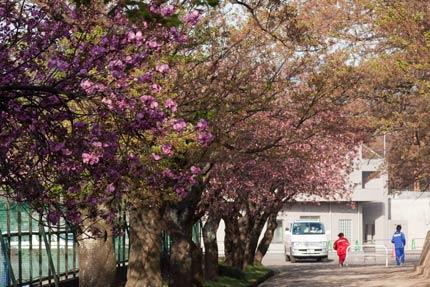 テニスコート脇の八重桜