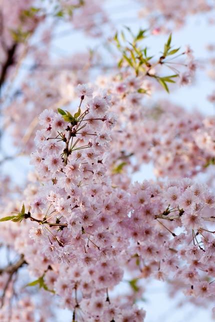 鈴なりの八重桜