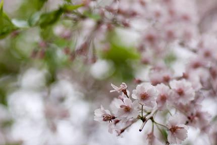 葉桜でも美しい八重紅枝垂れ桜