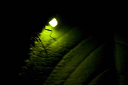 金谷山の蛍