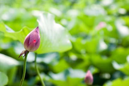 蓮の花は、咲いていませんでした