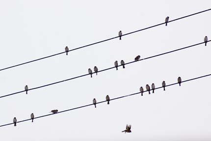 電線にも音符のように雀