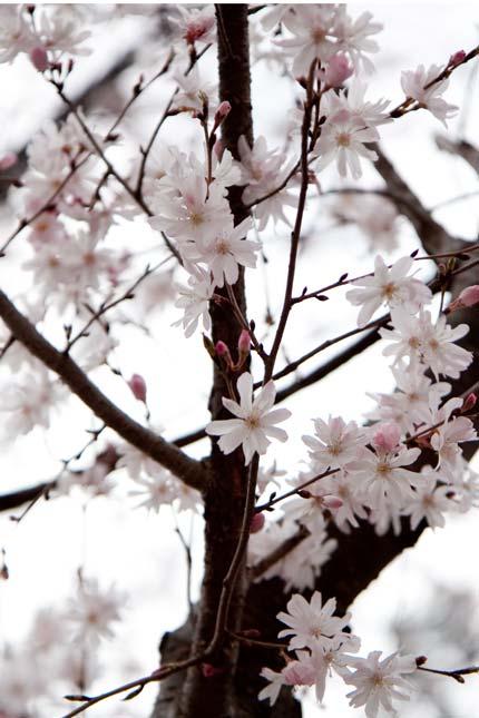 十月桜が5分咲き