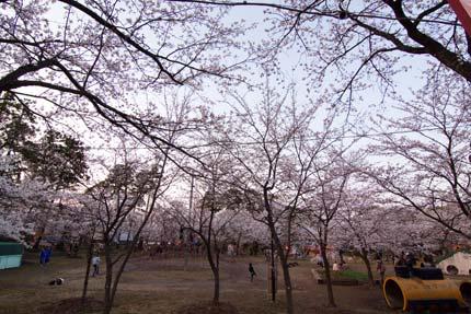 子供達が元気に公園で桜の中を駆け巡って遊んでいました