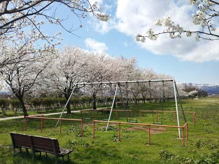 平成町の公園の桜