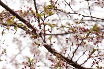 桜は大部分散ってしまっていました