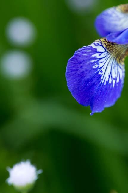 春紫苑と菖蒲