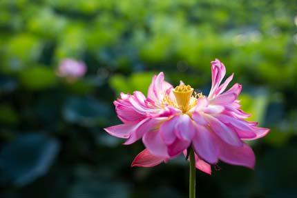 夕方にも咲いている蓮の花