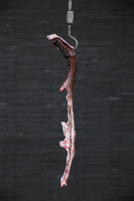 アンコウの歯