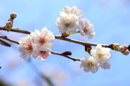 早咲きの八重桜