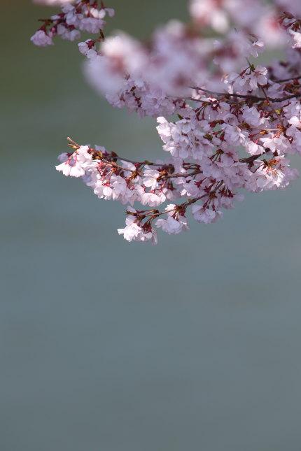 小さくて可愛らしい桜