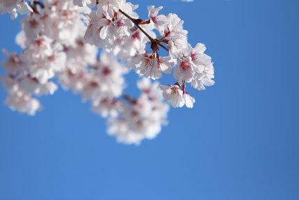 綺麗な小彼岸桜