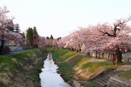 青田川沿いのソメイヨシノ