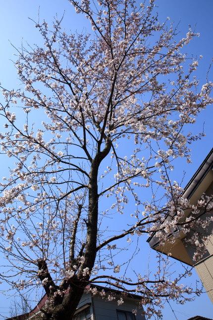 弊社の庭にある桜