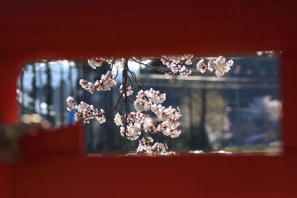 染井吉野の花びら