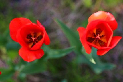 チューリップの花