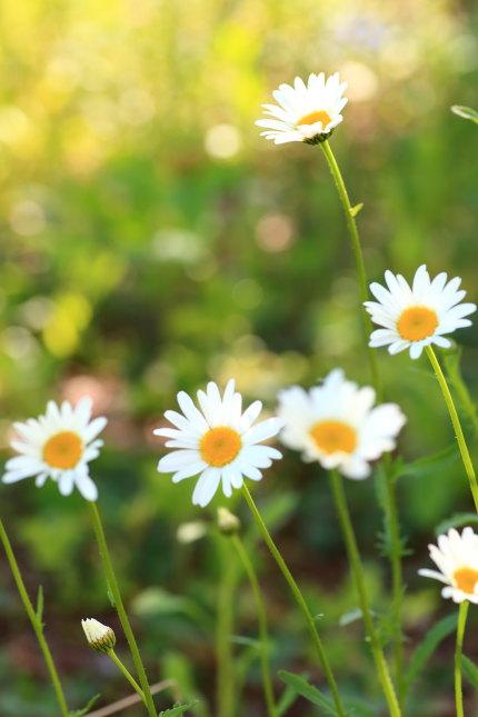 白花虫除菊