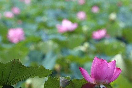 雄大に蓮が咲いている