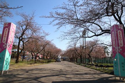さくらロードの桜