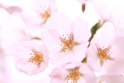 あい企画の脇の桜