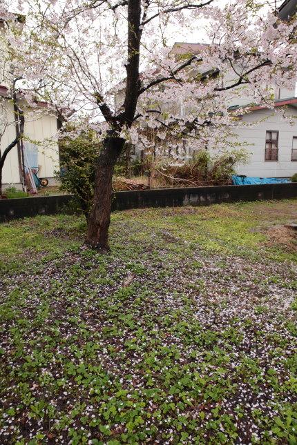弊社脇の桜