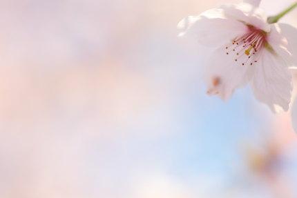 4月16日(木)の桜