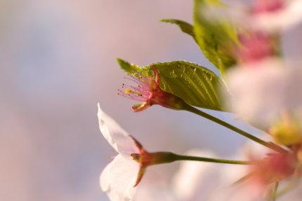 咲いていた桜も、散ってしまった桜も