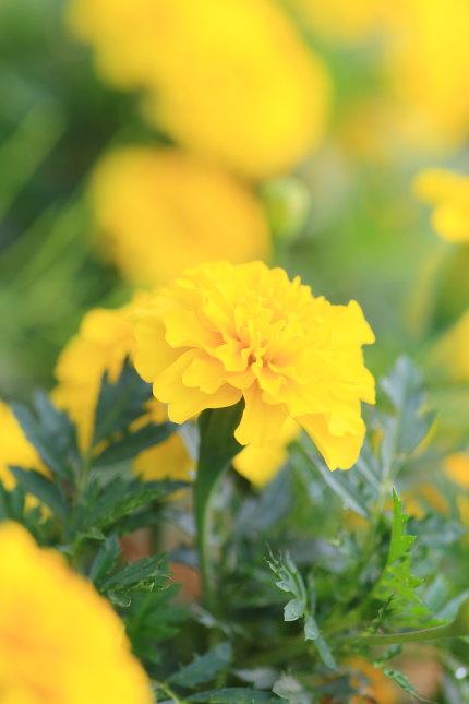 マリーゴールド紅黄草