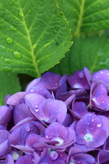 梅雨時の紫陽花
