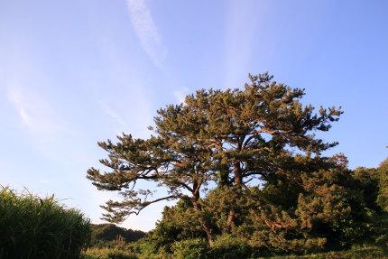 古木の森山地蔵様の松