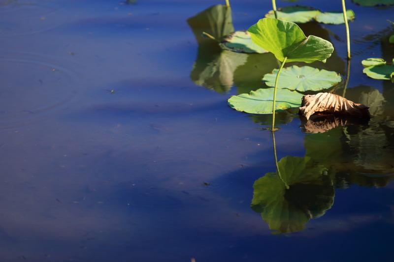 水面に映る蓮の葉